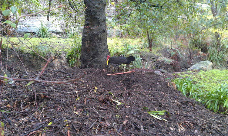 male brush turkey on mound