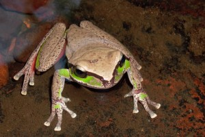 Blue Mountains Tree Frog - Photo Peter Ridgeway