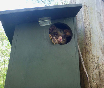 Brushtail-Possum-in-nest-box