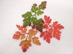 Herb Robert Leaves